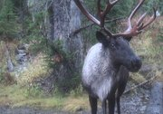 Man-Made Extinction: Canada's Disappearing Caribou Herds