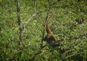 The Last Orangutans of Sumatra