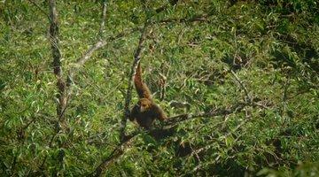 The Last Orangutans of Sumatra