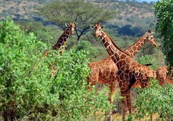Giraffes: The Forgotten Giants