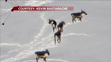 B.C. Wolf Cull: Saving Endangered Caribou?