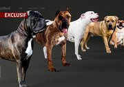 Le point de vue scientifique sur les pitbulls