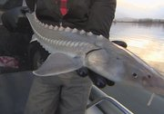 Declining Fraser River sturgeon stocks lead to calls for gill net restrictions