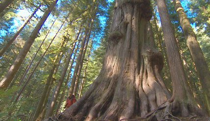 Fighting to protect B.C.'s ancient forests