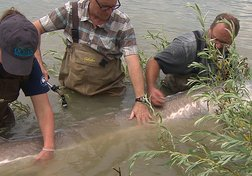 Catching the Monster Sturgeon
