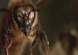 Beetalker: The Secret World of Bees
