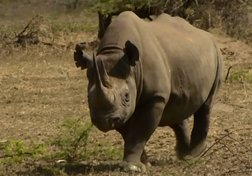 ​Rhino Wars: Saving Africa's Gentle Giants