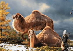 Camel discovery in High Arctic