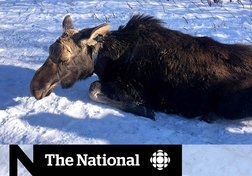 Climate change, ticks and the moose population