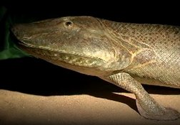 "Tiktaalik, the 350-million-year-old ""walking fish"""