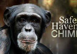 Safe Haven for Chimps