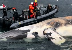 Facing Extinction: What's Killing the Mysterious Right Whale?