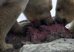 Grizzly vs. Polar Bear