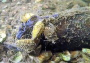 Native mussels fight back