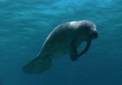 The Manatees of Belize