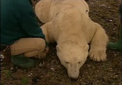The Shrinking Bears: What will happen to the polar bears of Hudson Bay?