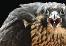 Canada's falcon population back from brink of extinction