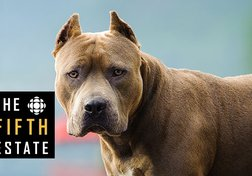 Pit Bulls Unleashed: Should They Be Banned?