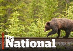 Grizzly bears threatened by trains in Banff