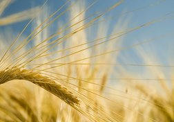 The War on Wheat