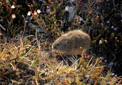 "Lemmings: The Arctic tundra's ""lunch box"""
