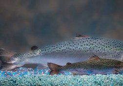 Genetically Modified Salmon Approved by FDA