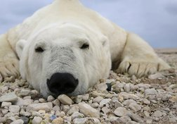 Polar Bears: A Species in Peril