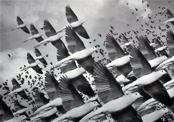The Passenger Pigeon: A story of modern extinction